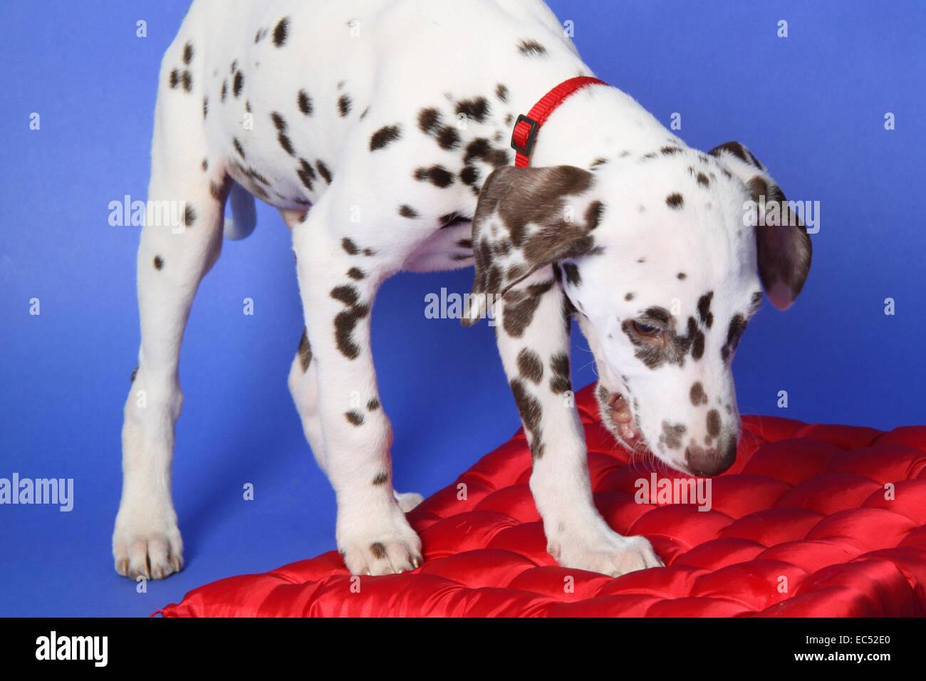 Dalmatian puppy Stock Photo