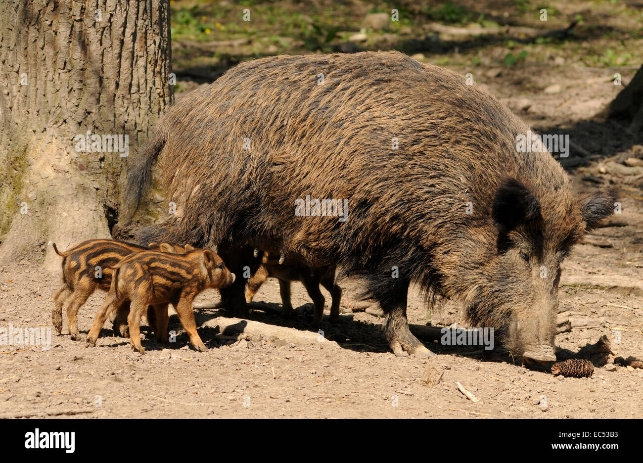 Sow with piglets - Stock Image