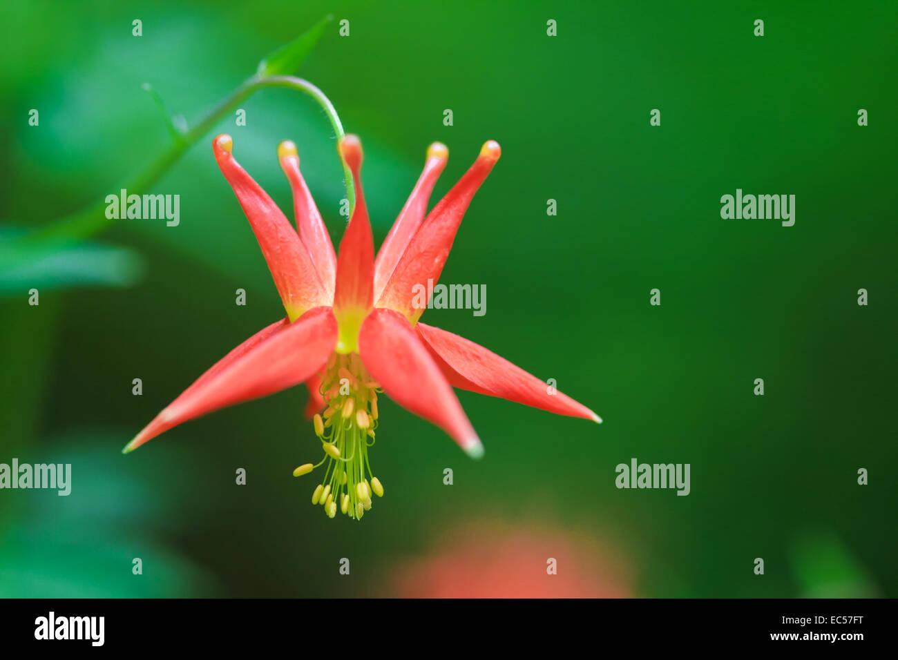 Columbine Flower, Oregon, USA - Stock Image