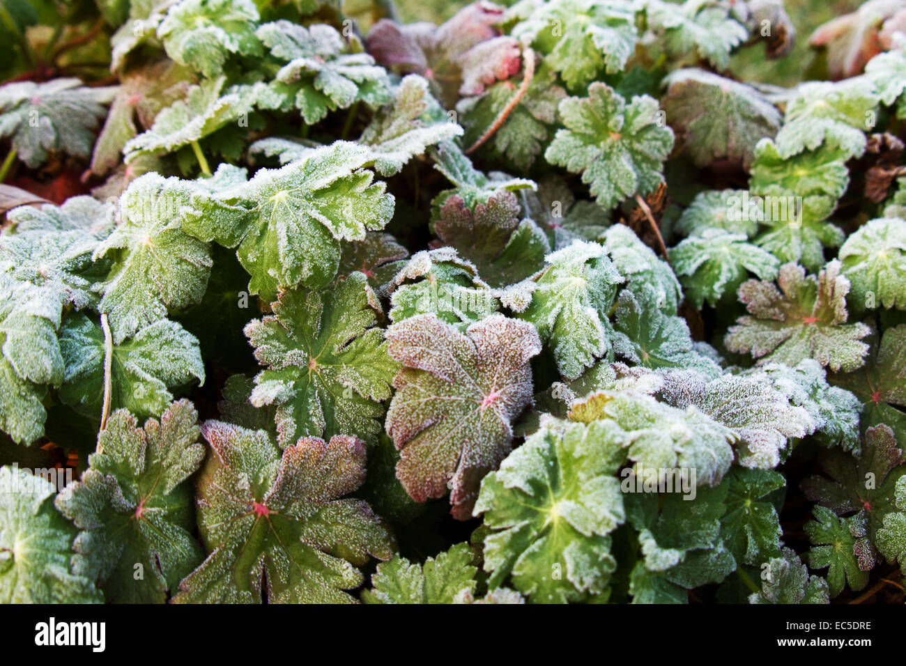 leaves got a touch of frost - Stock Image