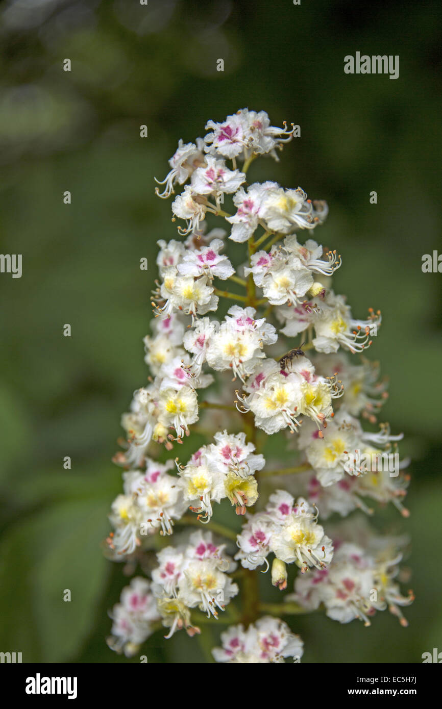 Flower of the ordinary horse chestnut, Aesculus hippocastanum - Stock Image