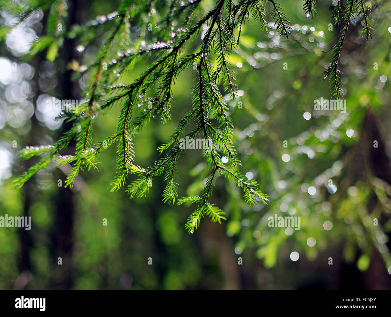 Spruce branch with water drops - Stock Image