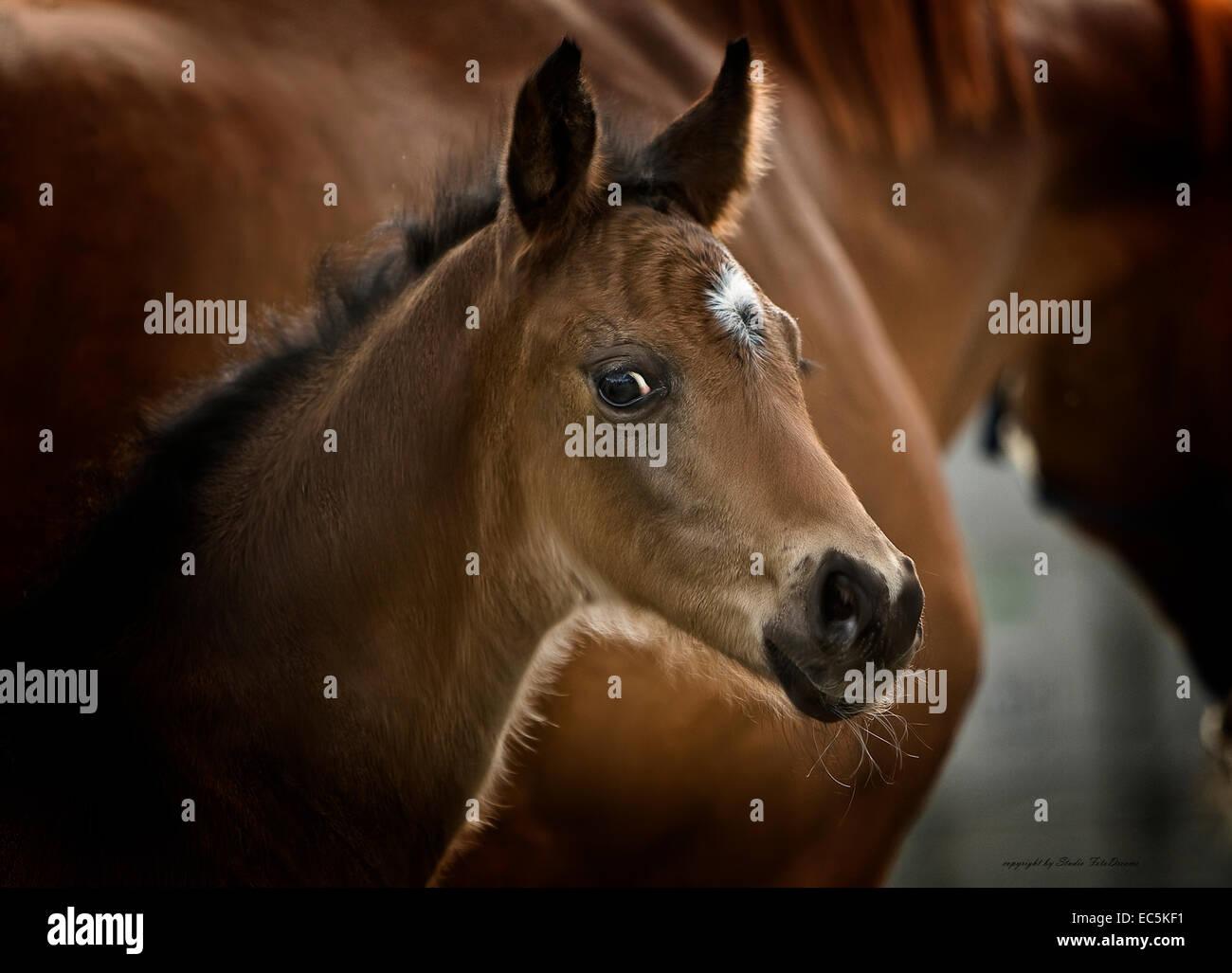 fohlen - Stock Image