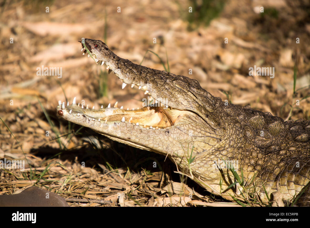 April 28 2013 Crocodile In The Lion And Chitaah Park In Harare In