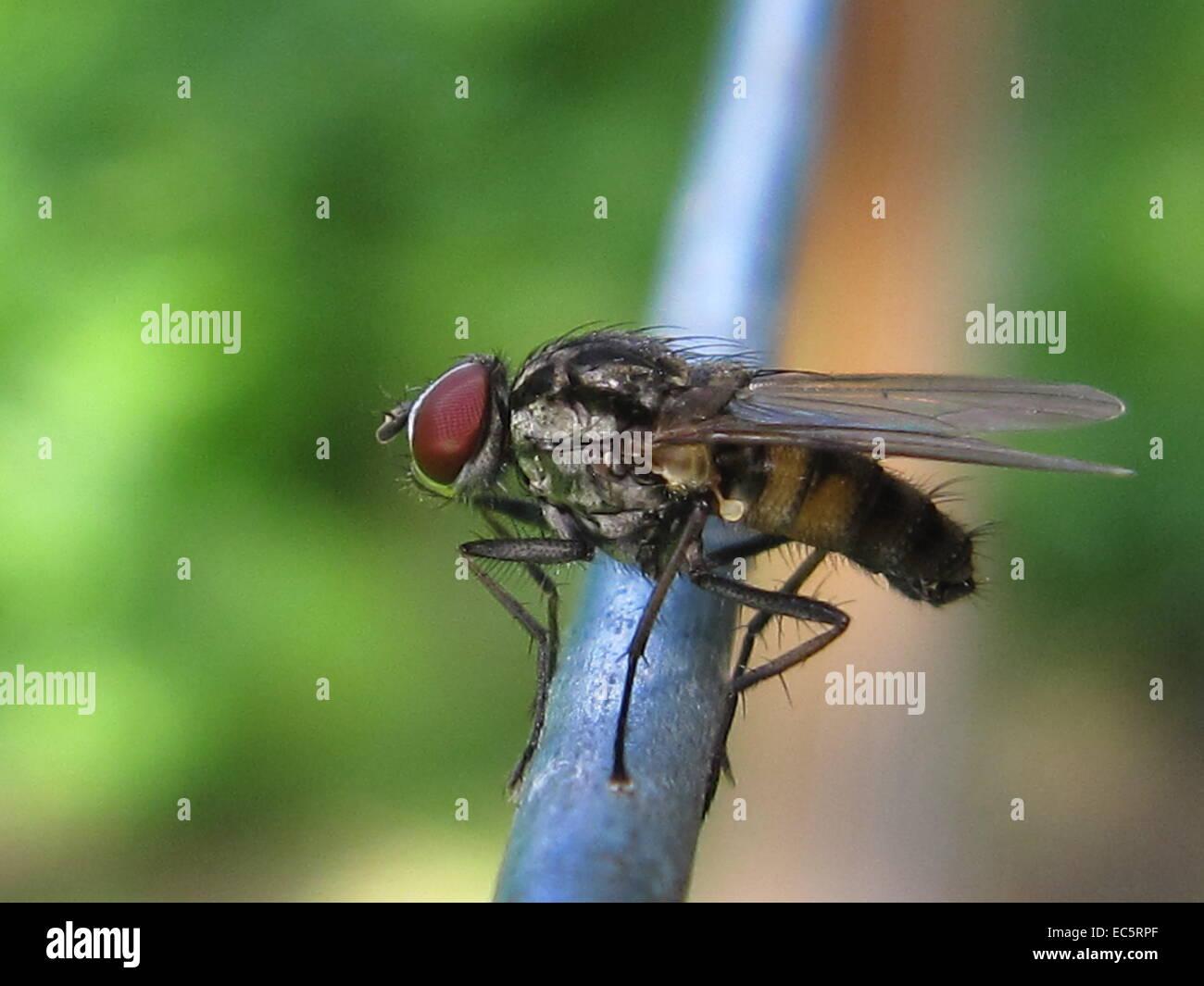 Fly in Makro - Stock Image