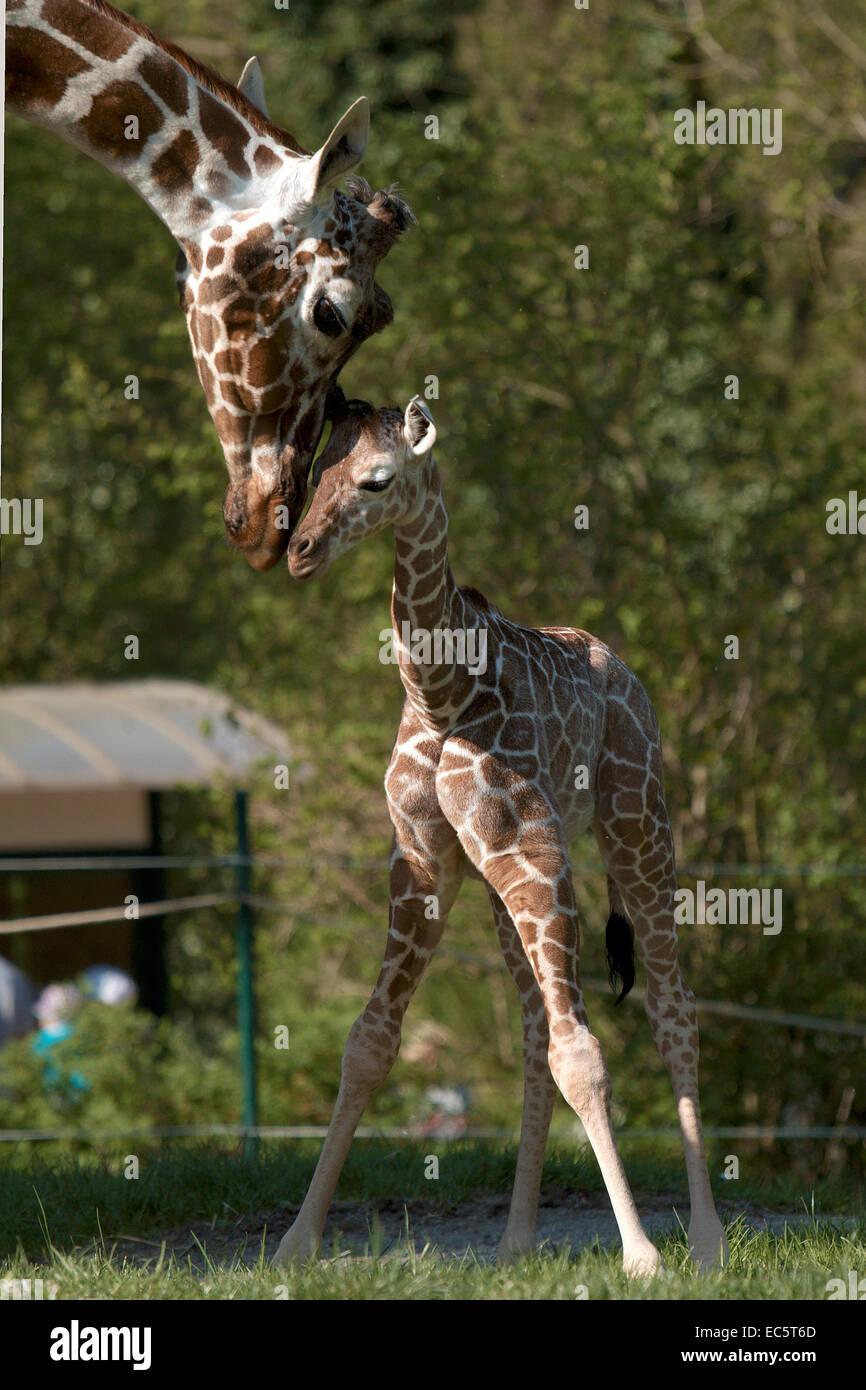 Baby giraffe, 2 weeks young - Stock Image