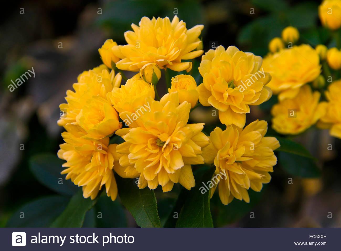 Yellow flowers on bush italy stock photos yellow flowers on bush common myrtle yellow flowers on bush italy stock image mightylinksfo