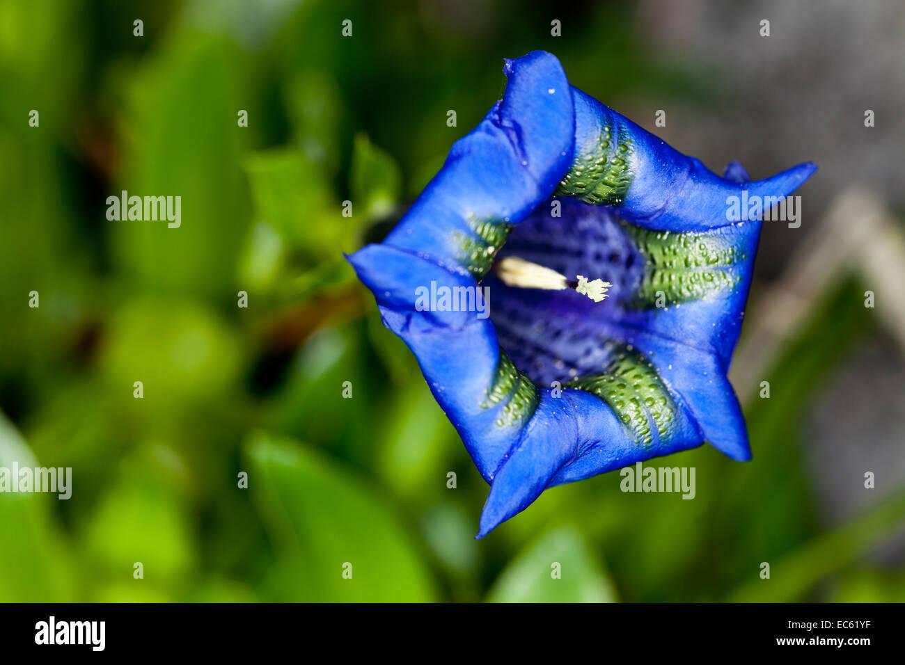 Rannoch Strain Gentiana acaulis - Stock Image