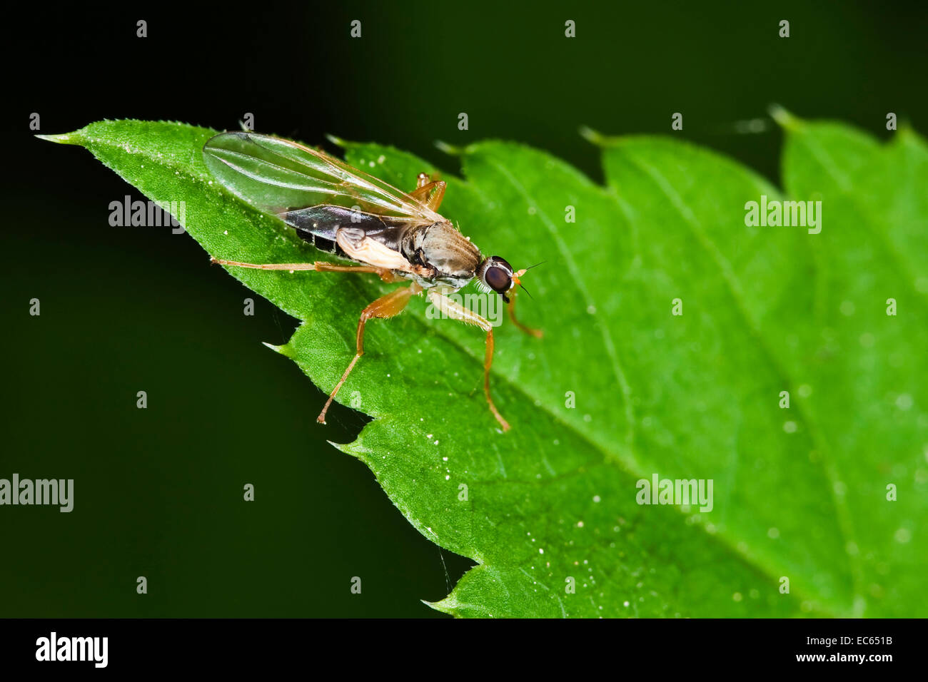 Fly order Diptera, suborder Brachycera Stock Photo