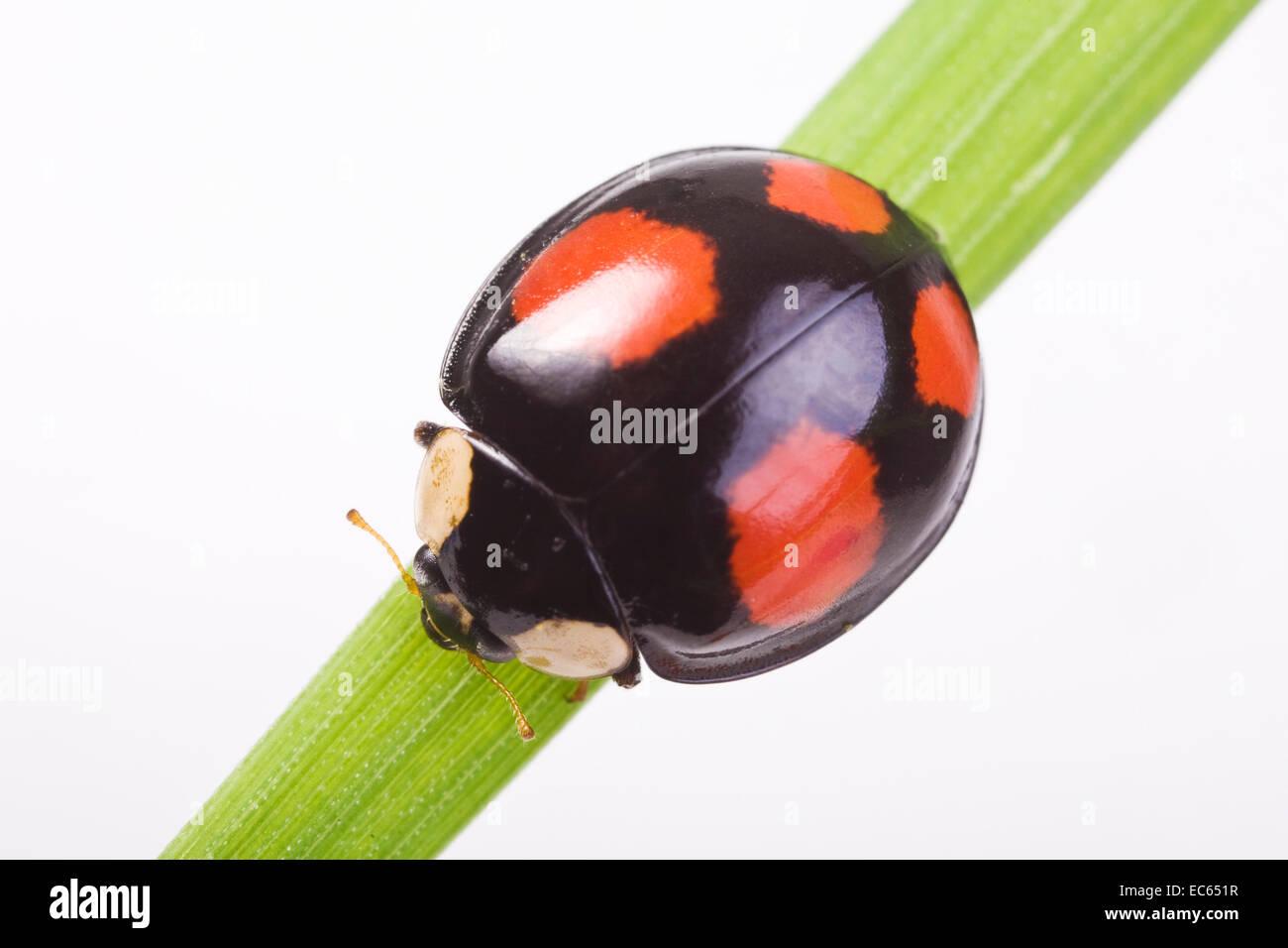 two-spotted lady beetle Adalia bipunctata dark version - Stock Image
