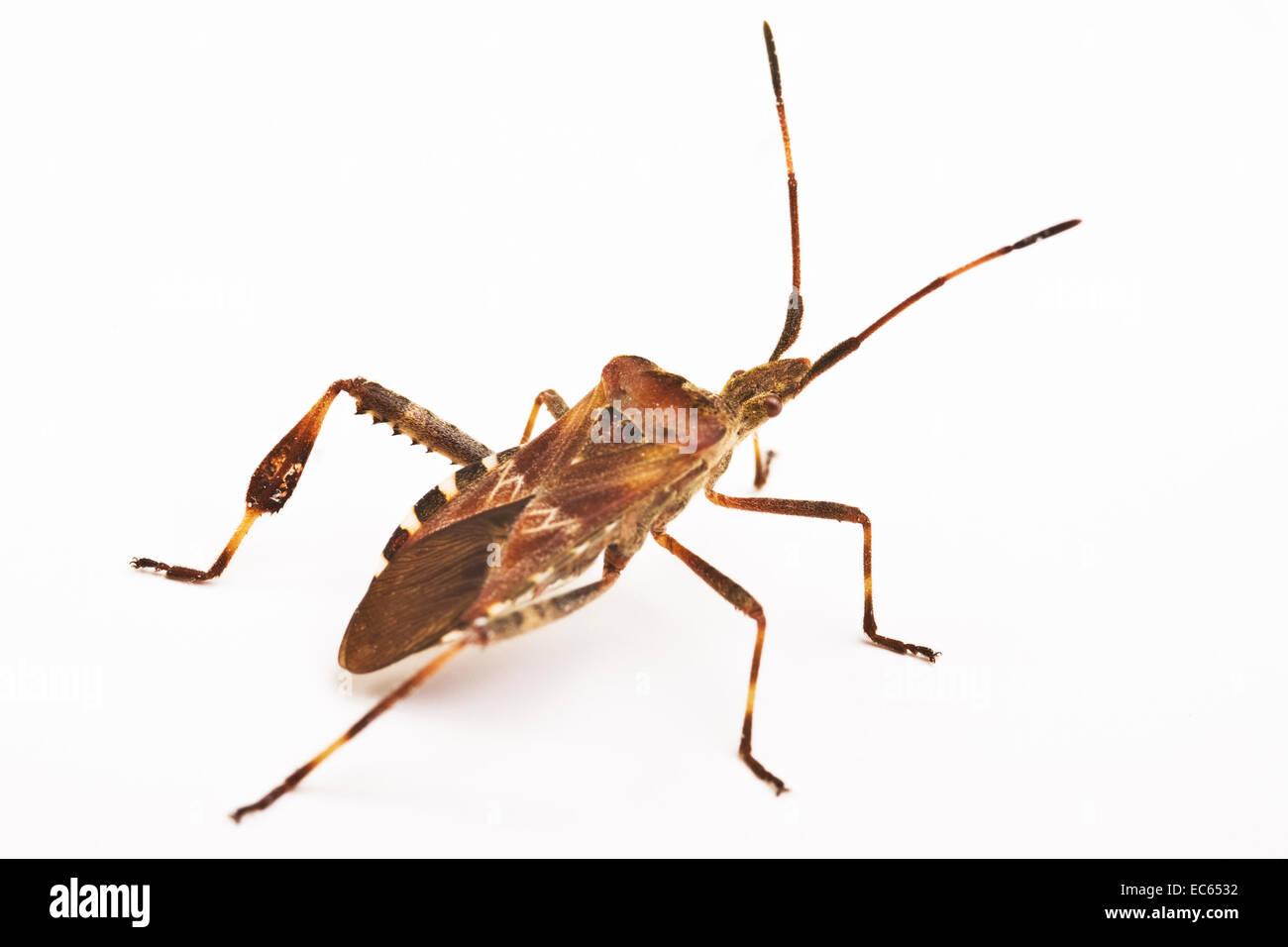 Western Conifer Seed Bug Leptoglossus occidentalis - Stock Image