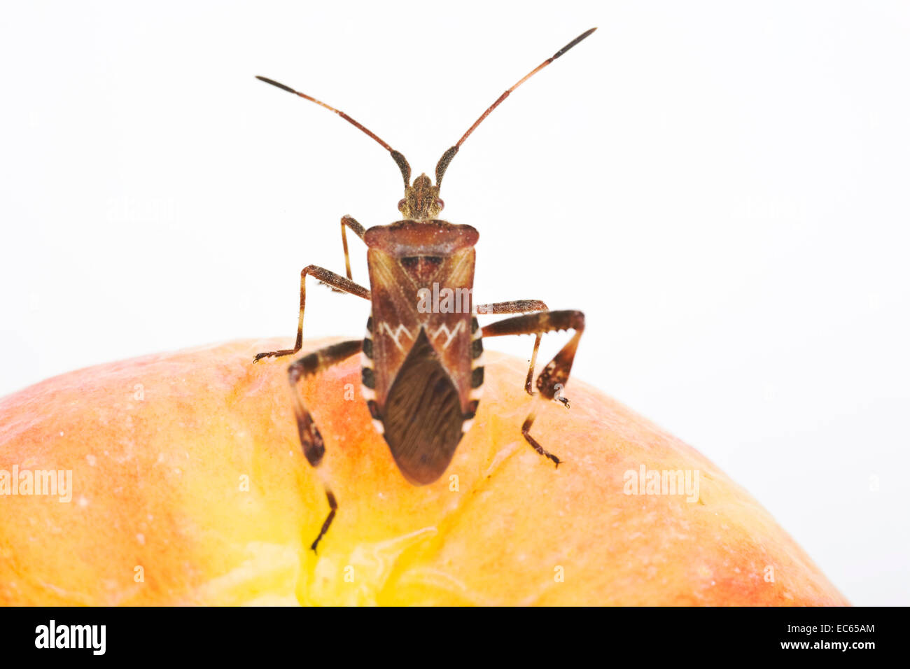 Western Conifer Seed Bug Leptoglossus occidentalis on a apple - Stock Image