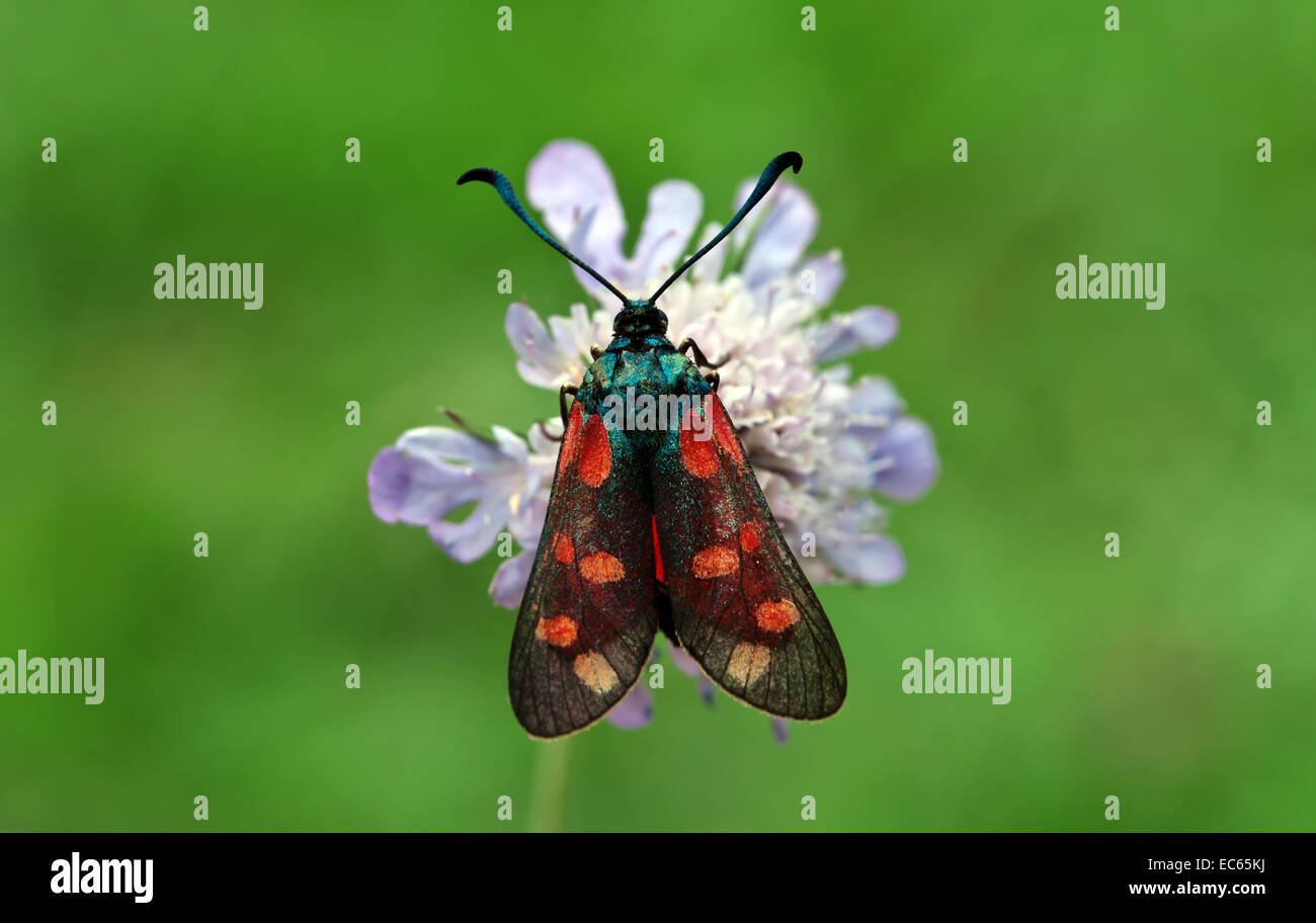 Burnet Moth - Stock Image