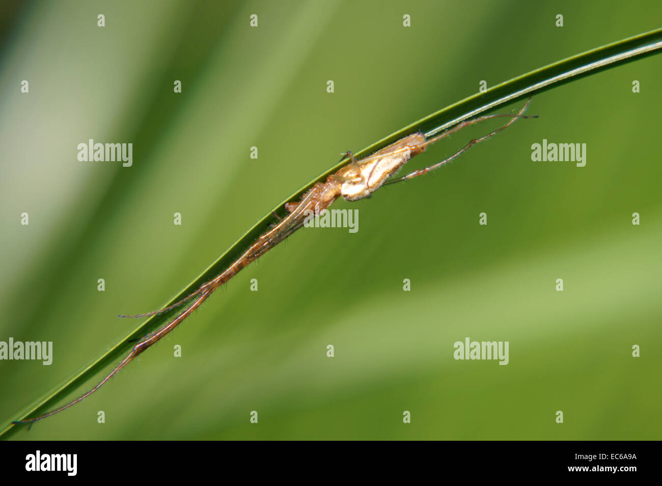 Elongated spider - Stock Image