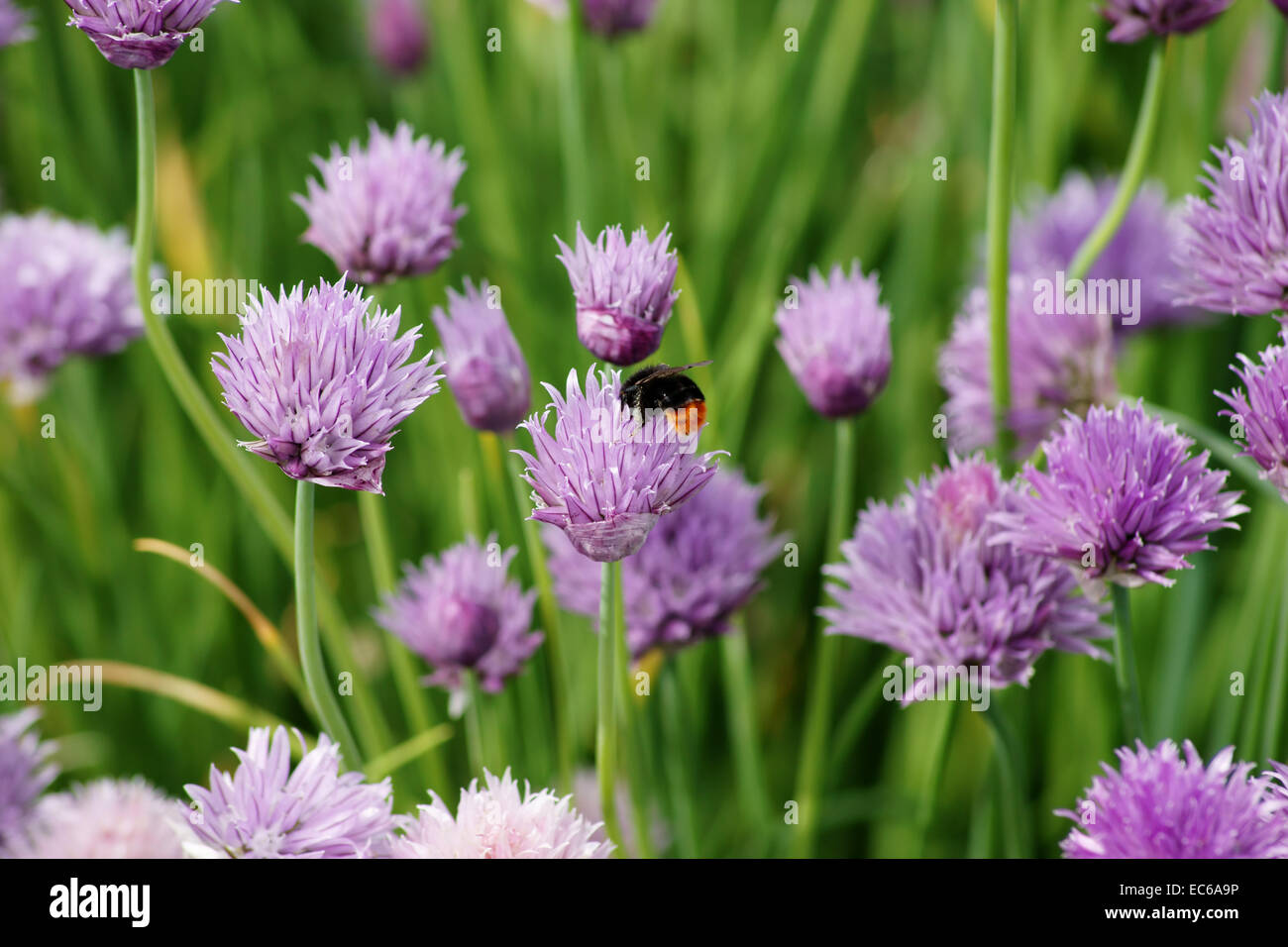 Hummel and chives - Stock Image