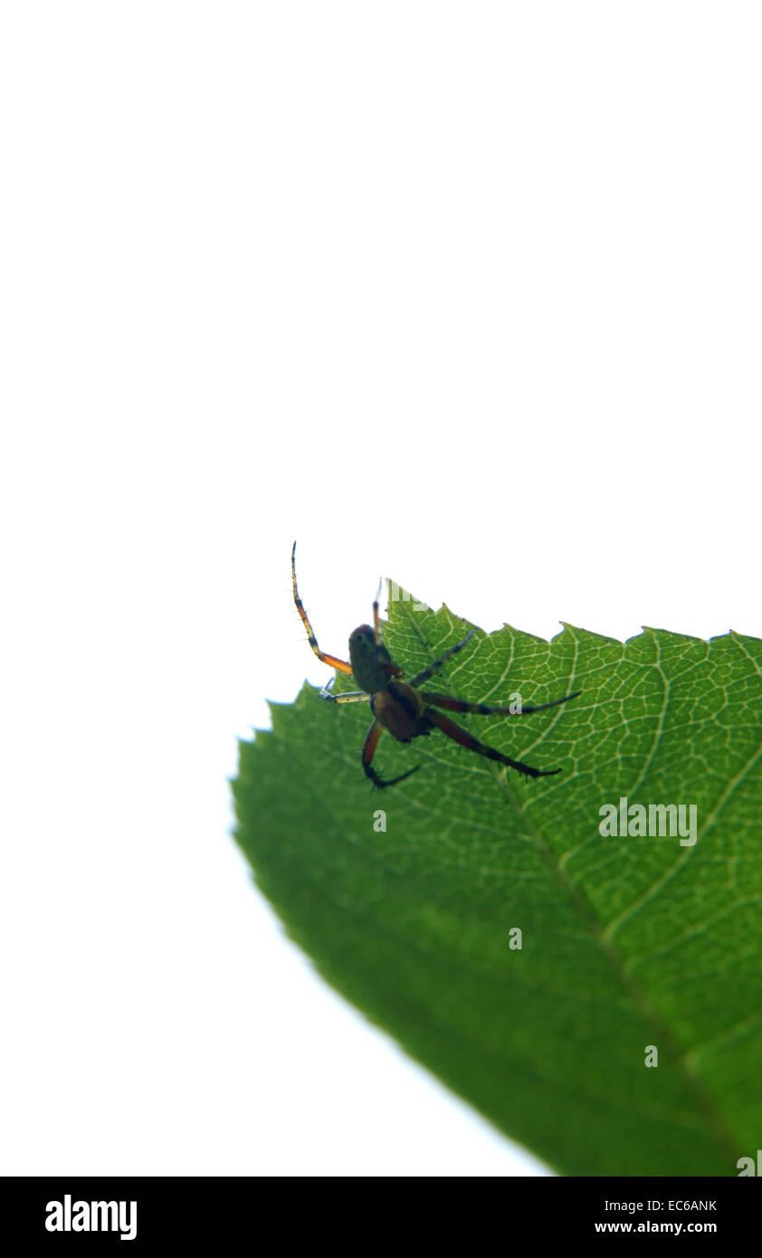 Araniella cucurbitina - Stock Image