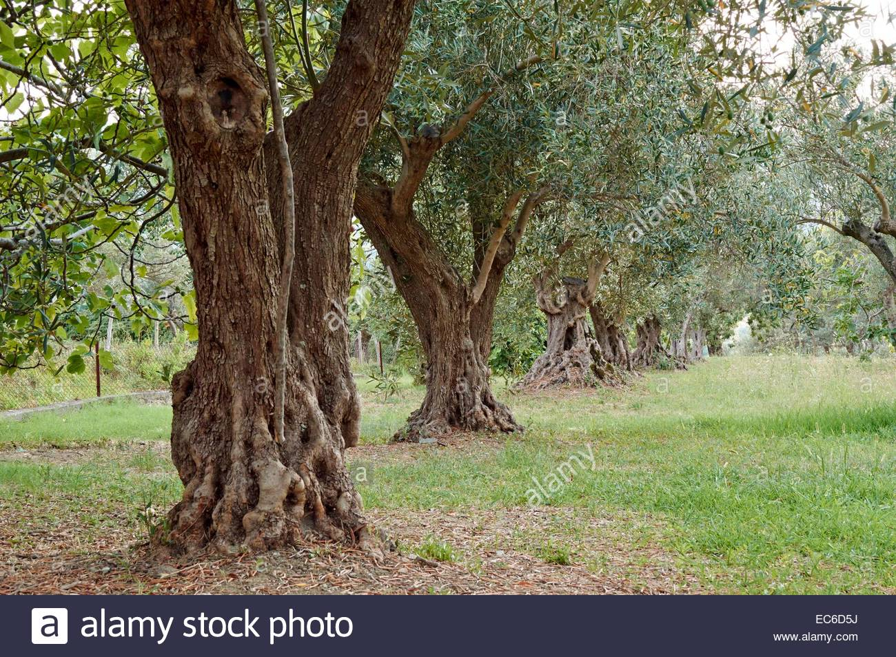 Garden Of Olives Stock Photos & Garden Of Olives Stock Images - Alamy