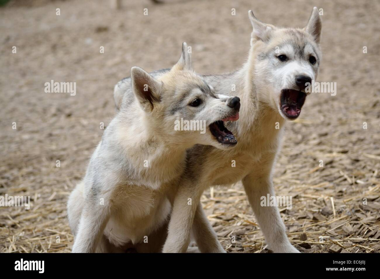 Rank dispute under Puppies - Stock Image