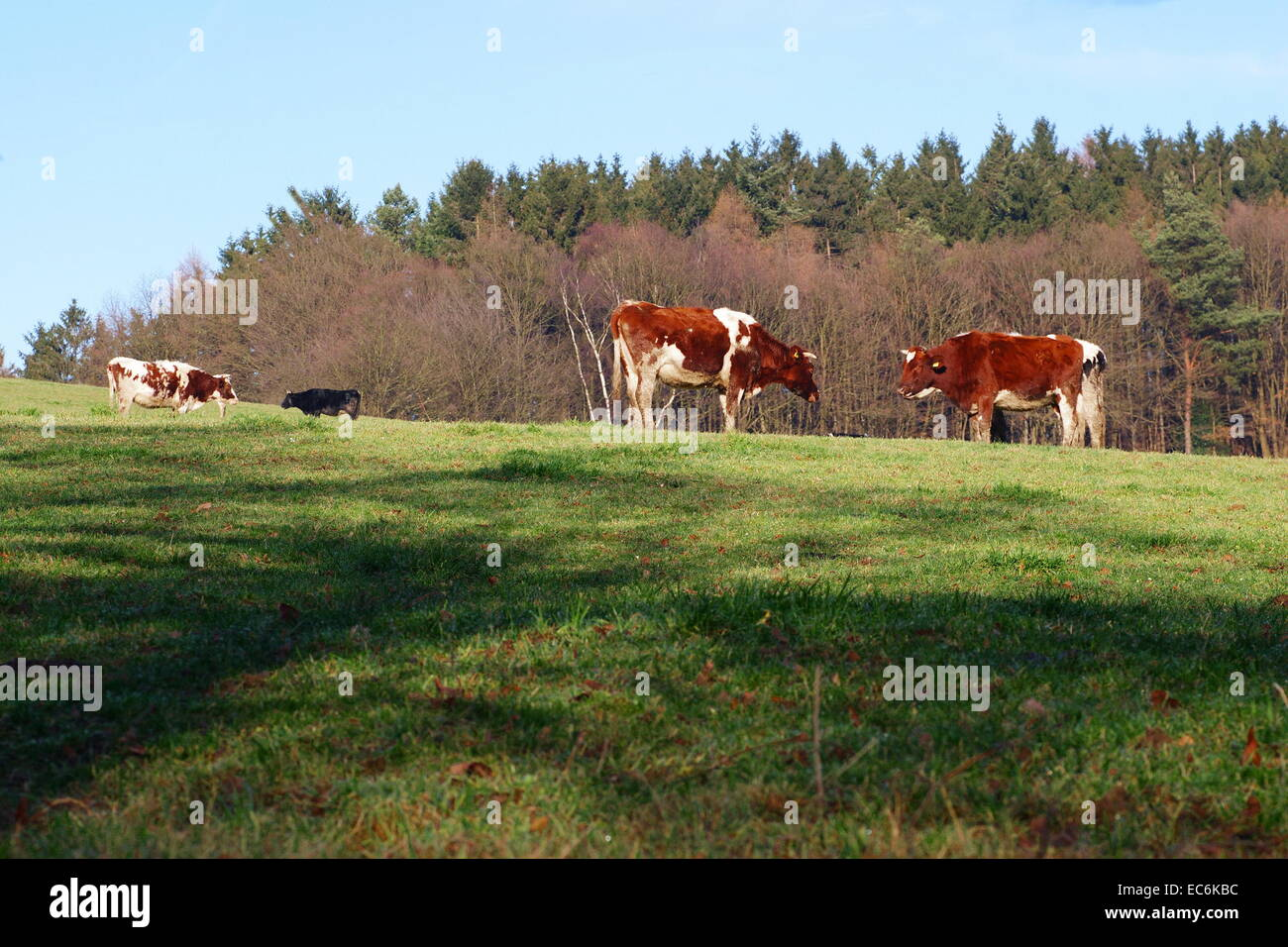 Cows cookers on alp - Stock Image