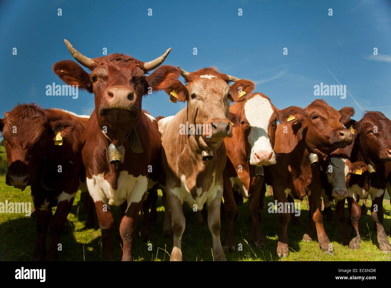 Cows coming closer. Frontshot of Cowherd, low angle, impressive - Stock Image