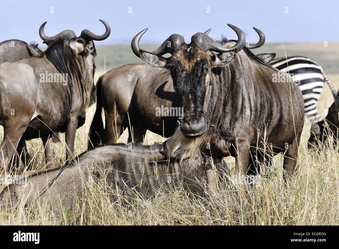 Wildebeests in masai Mara Stock Photo