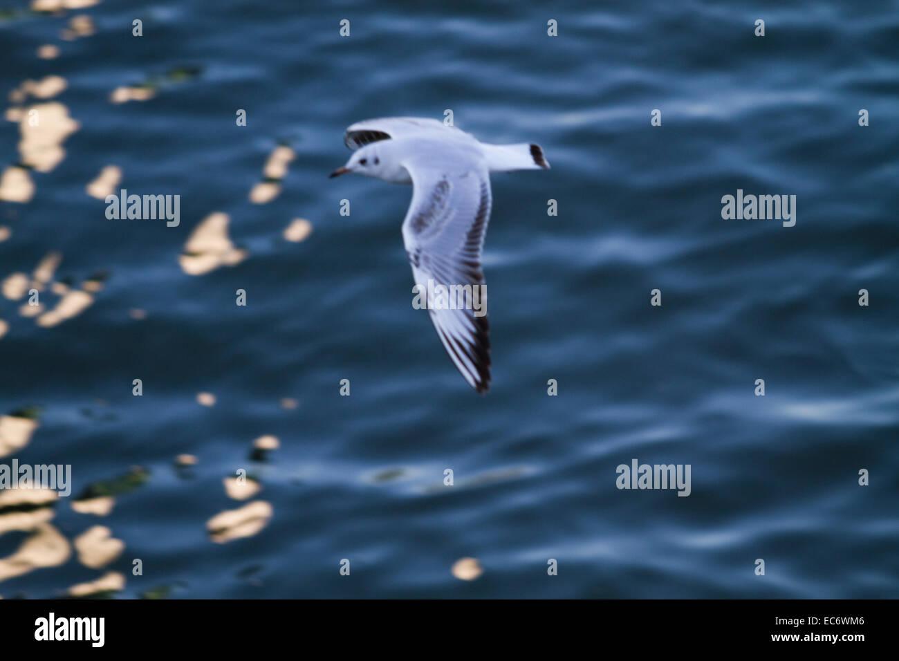 Seagull, Bild - Stock Image