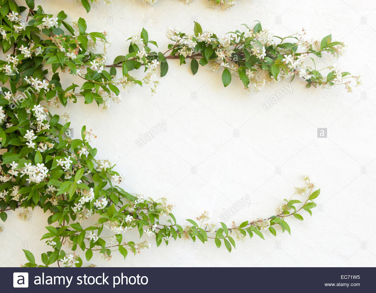 Natural frame of jasmine flowers on white wall Stock Photo: 76372497 ...