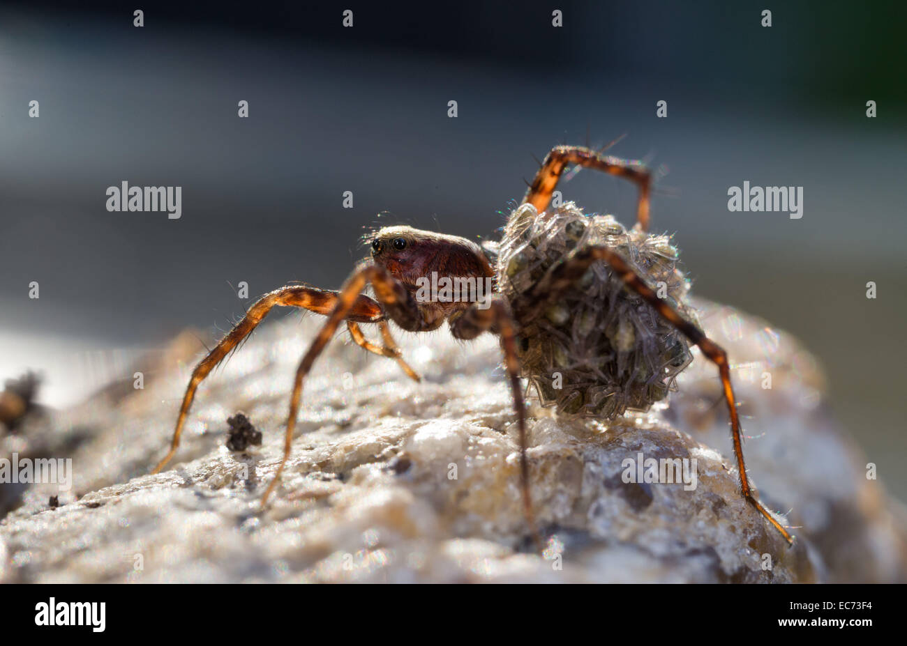 Spider with spiderlings - Stock Image