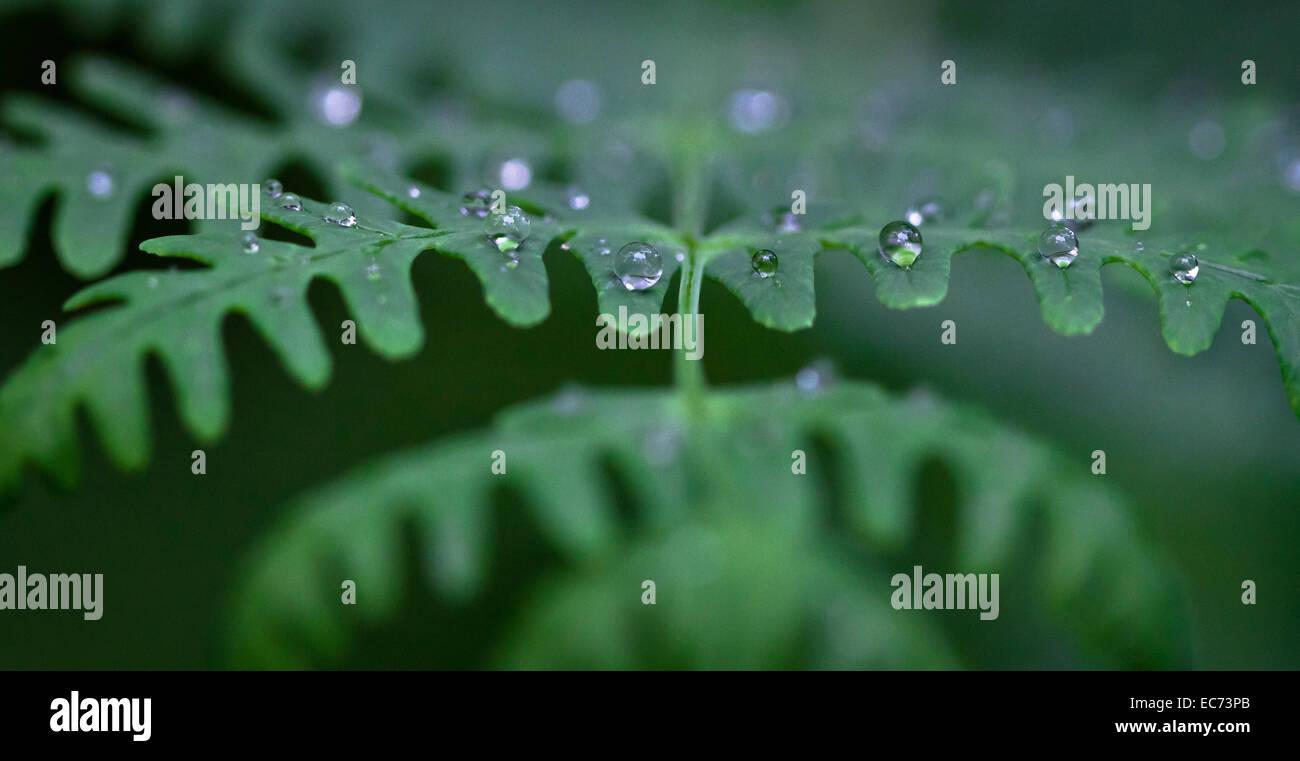 Dew Drops on a Fern, Victoria, Australia - Stock Image