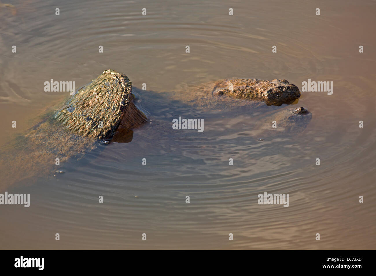 Snapping turtle, Chelydra serpentina, mating pair - Stock Image