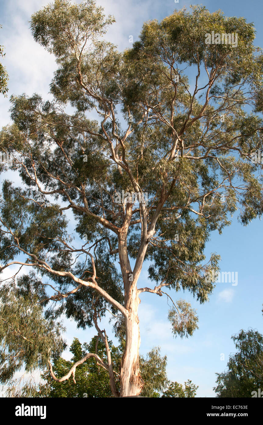 Mature eucalypt towering over a suburban yard in Melbourne, prior to being lopped and removed later in the day - Stock Image