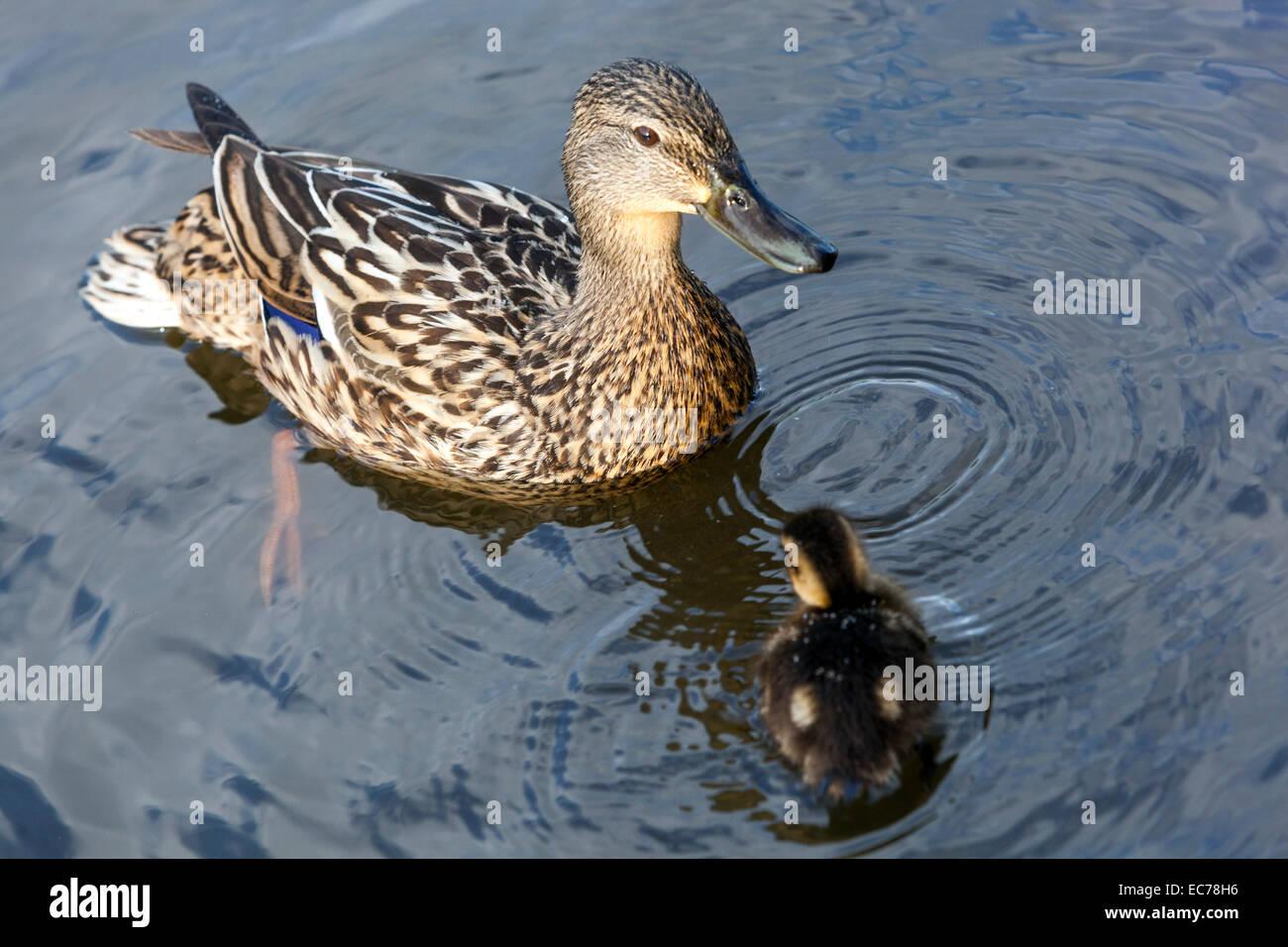 Mallard Ducklings, Anas platyrhynchos - Stock Image