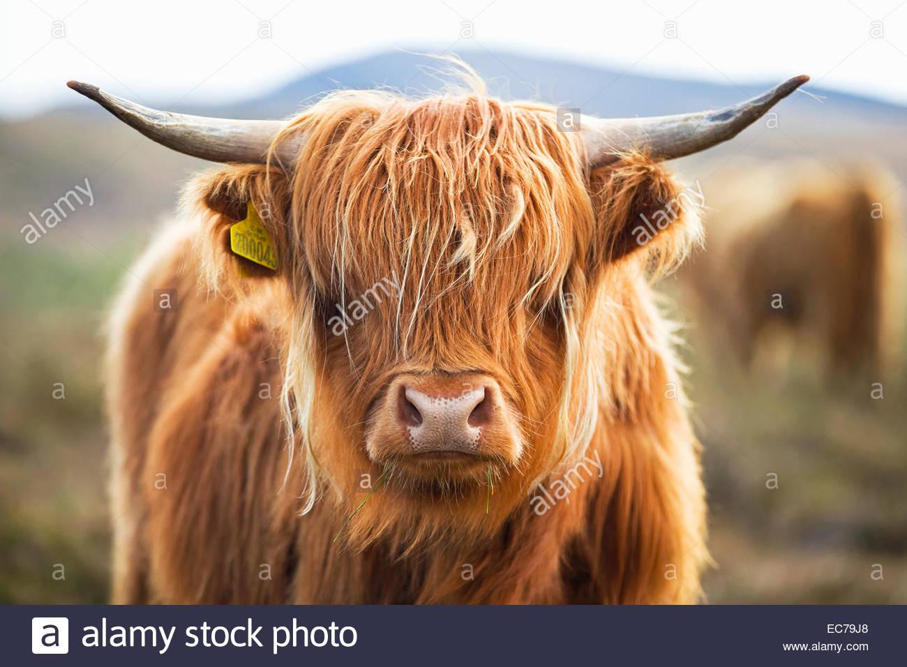 Close up of Highland cow on scottish moor - Stock Image