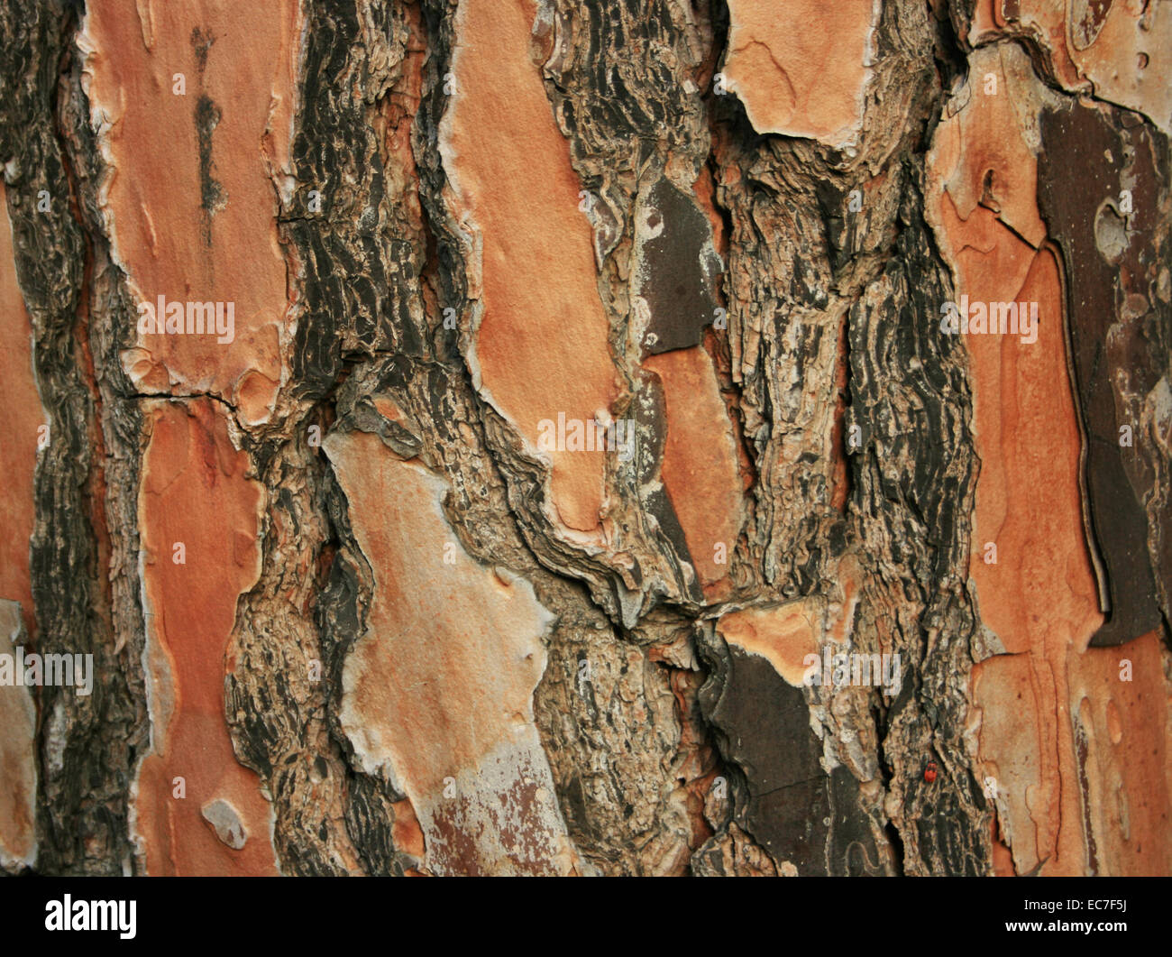 Old Pine Tree Bark texture,Close Up - Stock Image