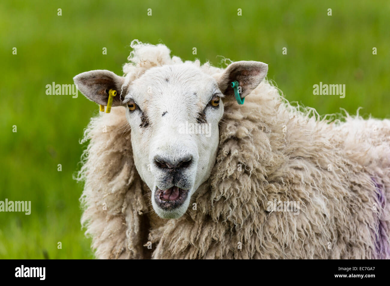 Portrait of bleating sheep - Stock Image