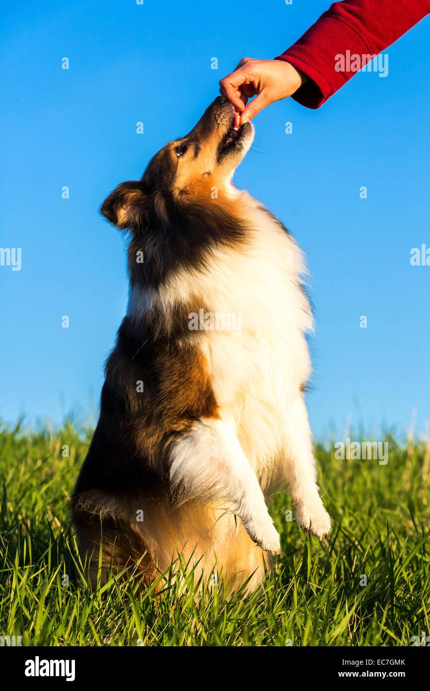Shetland Sheepdog receiving reward - Stock Image