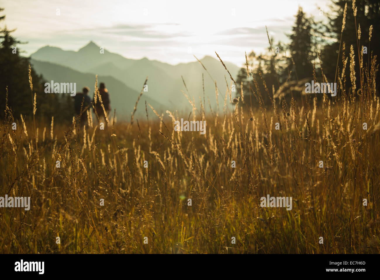 Austria, Tyrol, Tannheimer Tal, tall grass in sunlight on alpine meadow - Stock Image