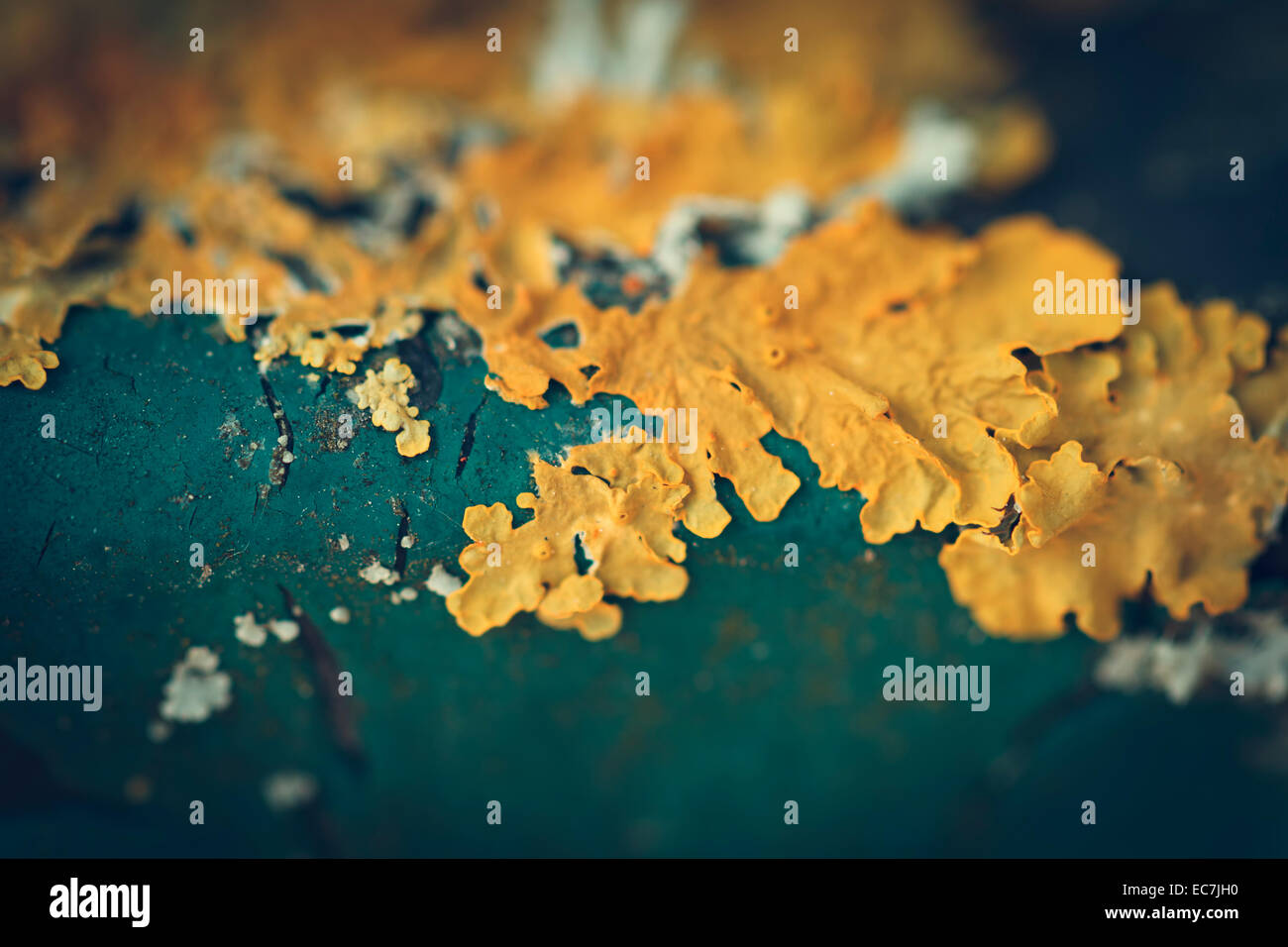 lichen close-up macro shot - Stock Image