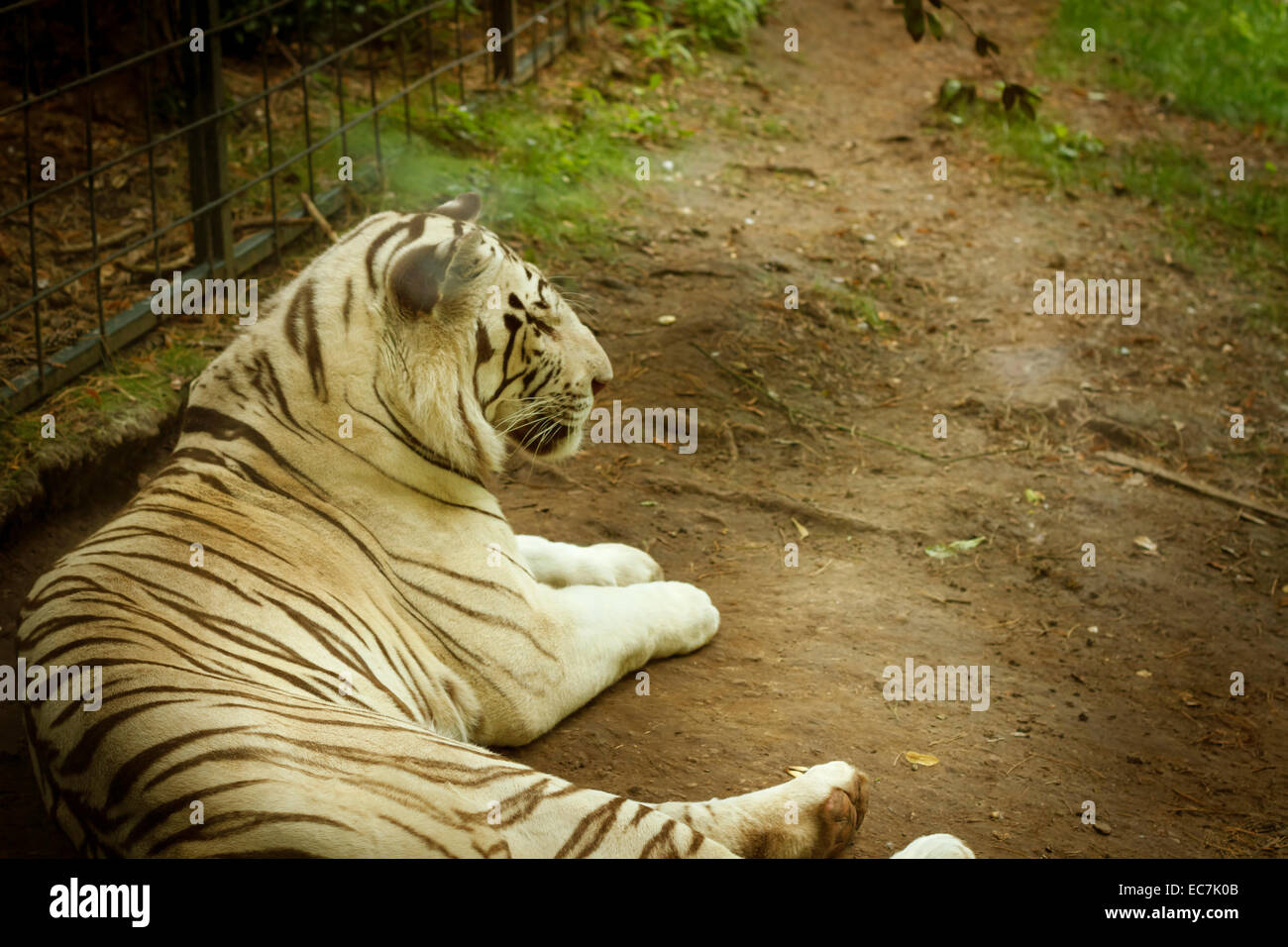 zoo parc beauval rare white tiger, France. - Stock Image