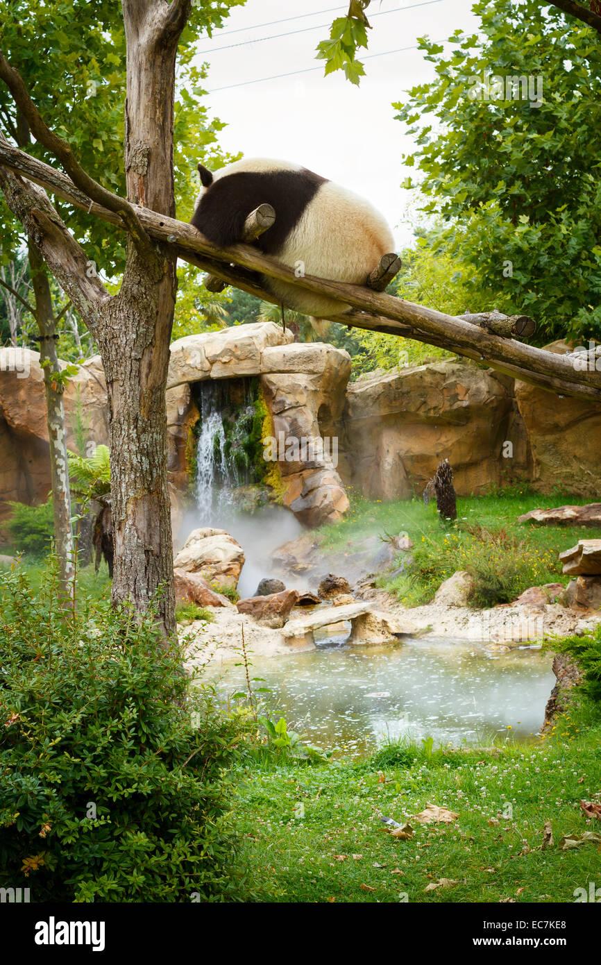 zoo parc beauval giant panda (ailuropoda melanoleuca) - Stock Image