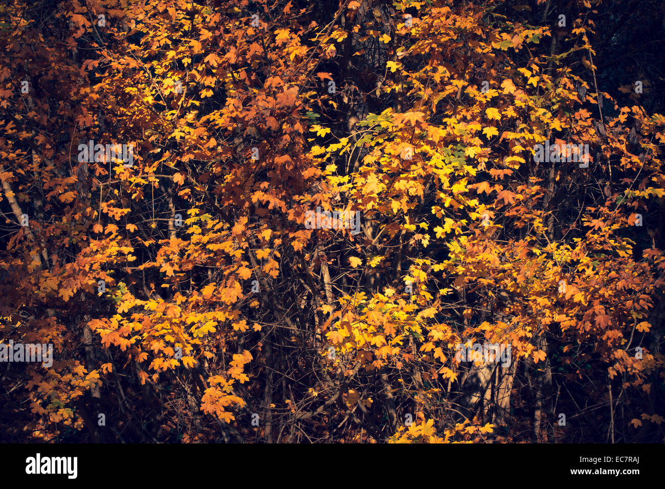 autumn trees leaves - Stock Image