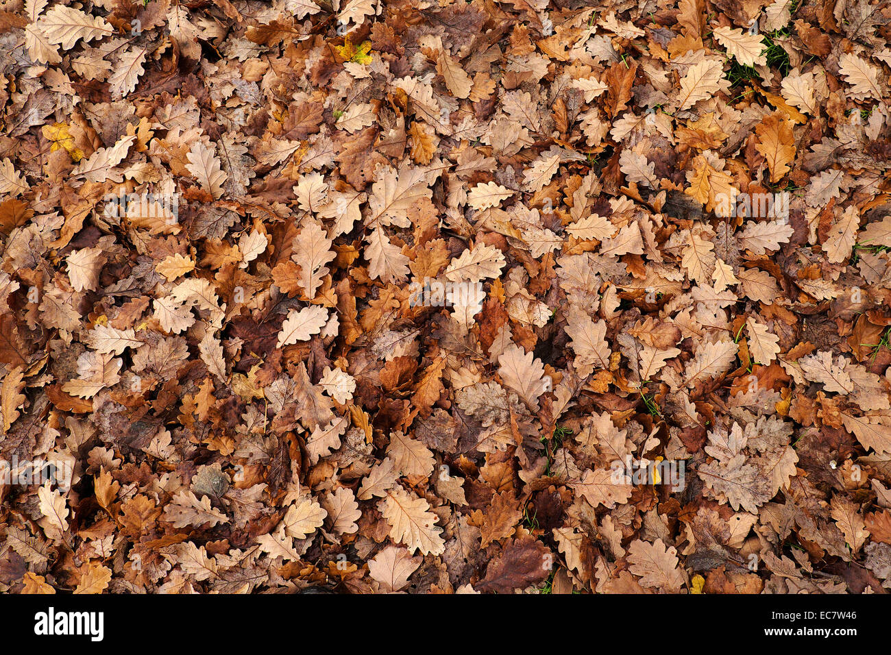 A carpet of oak leaves in Autumn. - Stock Image