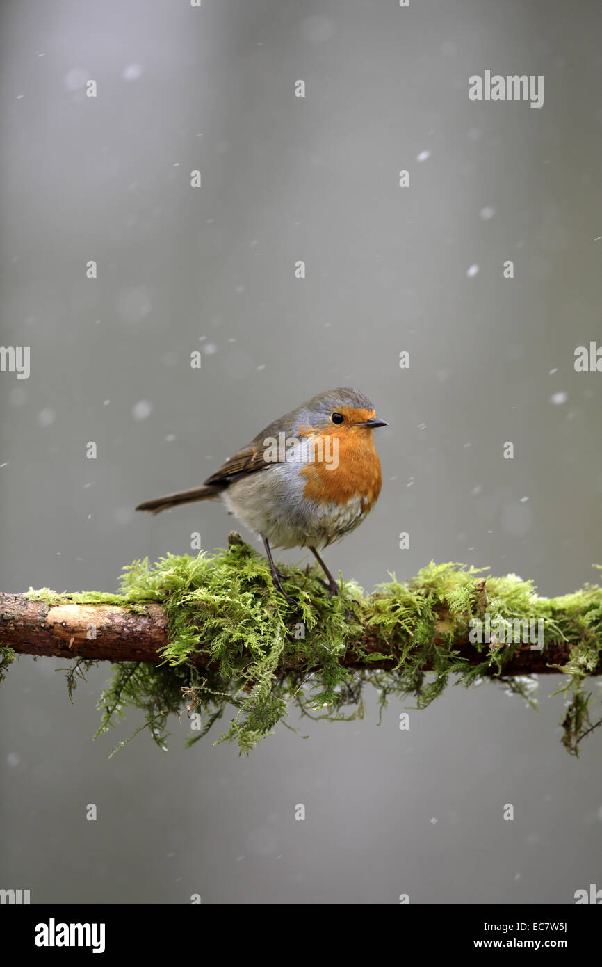 European Robin, Erithacus rubecula, in winter with snow falling - Stock Image