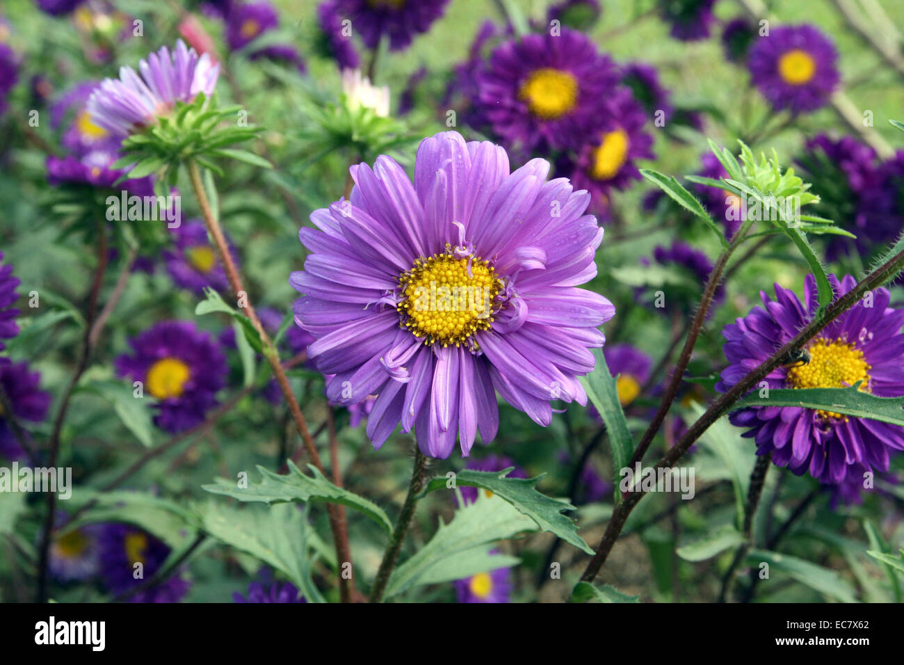 aster alpinus.  flower, color - Stock Image