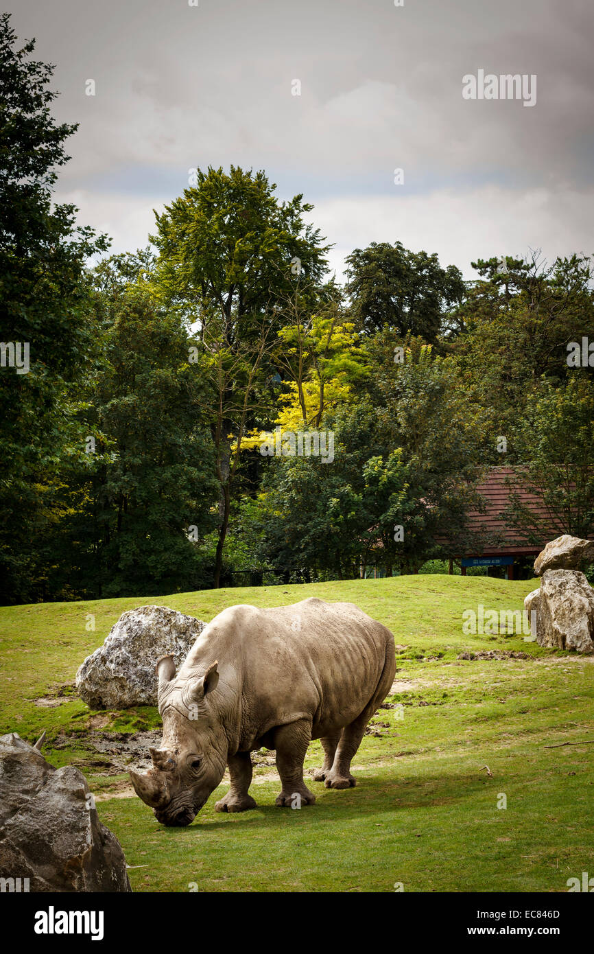 zoo parc beauval white rhino, France. - Stock Image