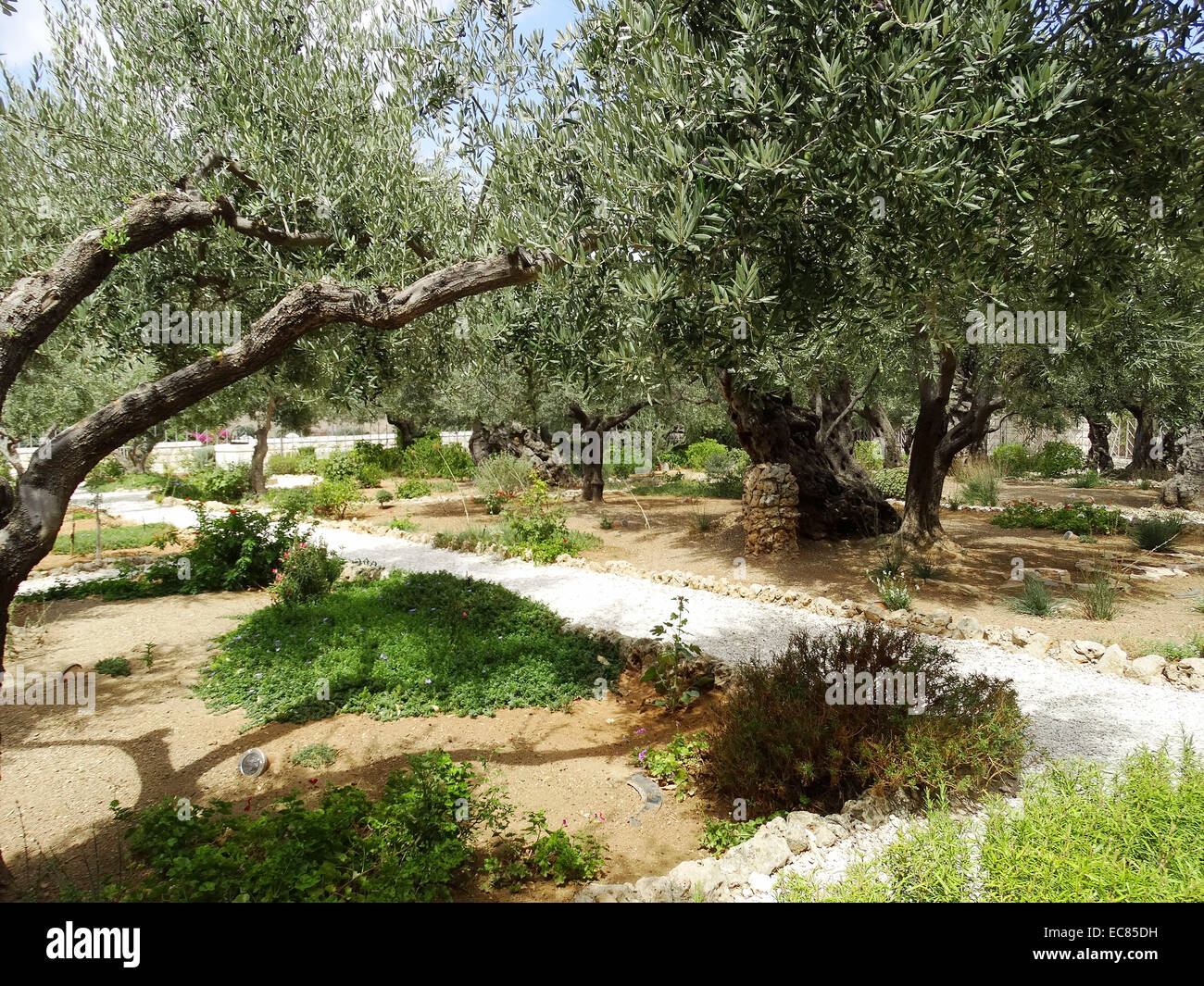 Olive Trees In The Garden Of Gethsemane At The Foot Of The Mount Of Stock Photo 76397261 Alamy