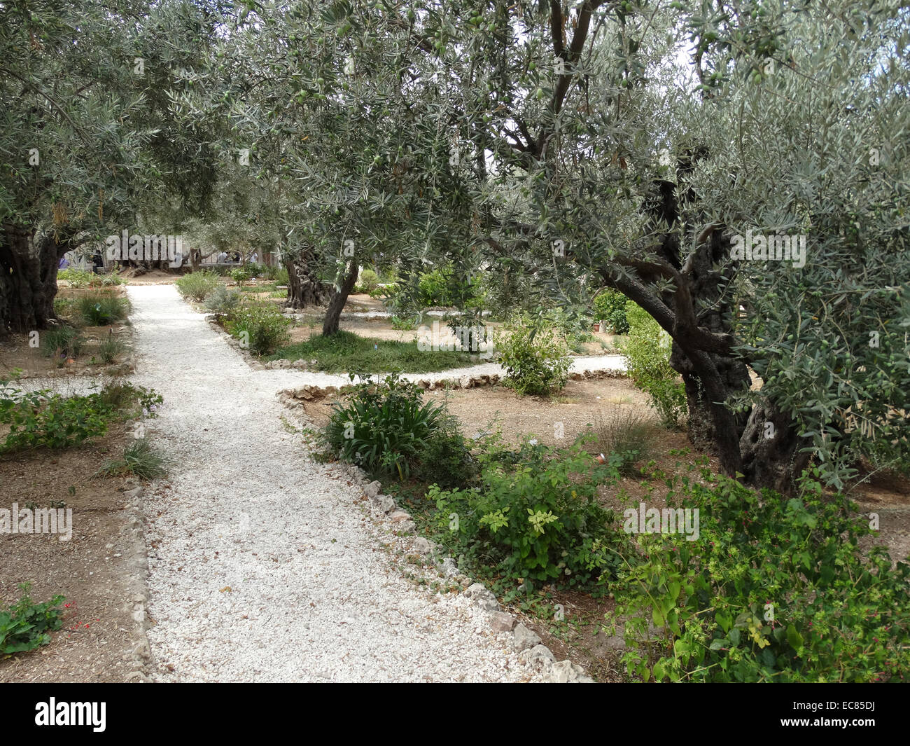 Olive Trees In The Garden Of Gethsemane At The Foot Of The Mount Of Olives  In