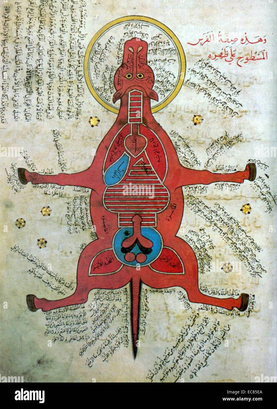 Islamic anatomy of a horse from an Egyptian manuscript. Dated 15th Century - Stock Image