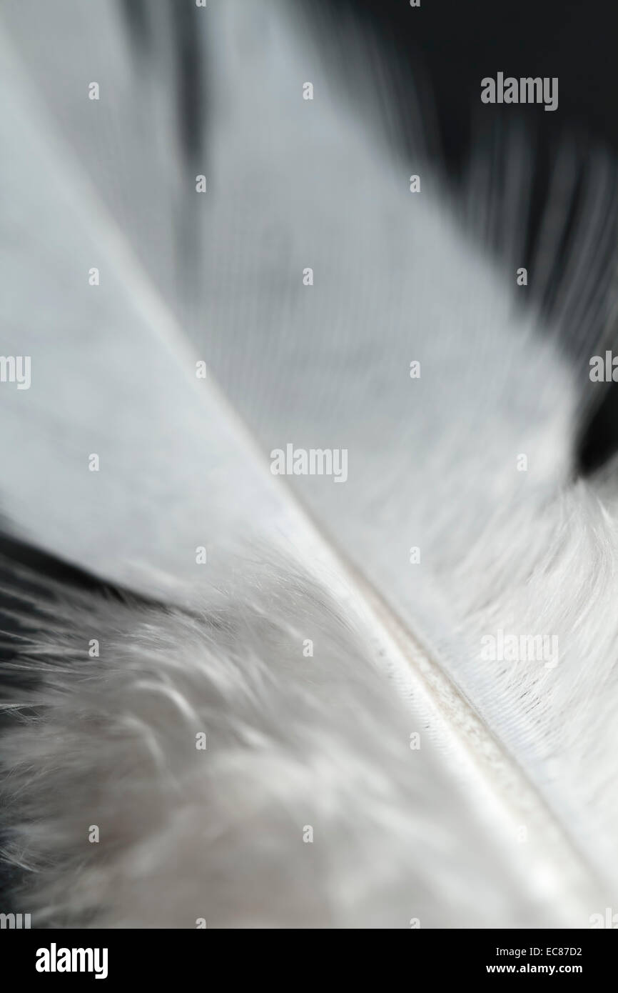 white feather close-up. - Stock Image