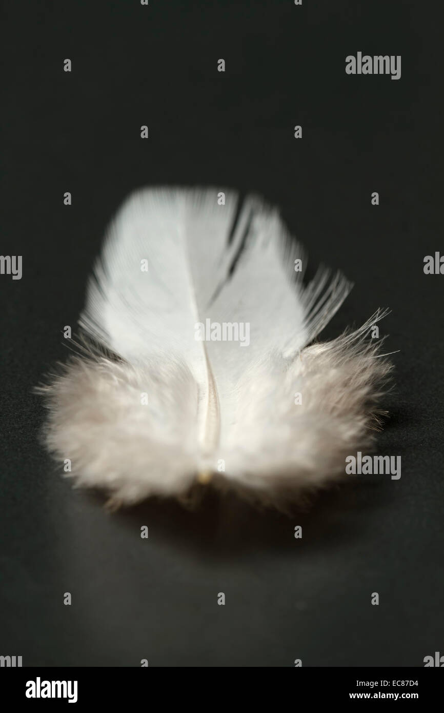 white feather close-up, dark background. - Stock Image